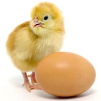 a baby chicken and brown egg