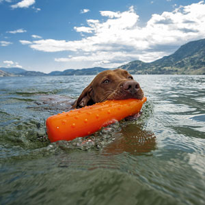 a trained dog retrieving an orange dummy