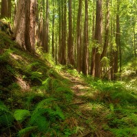 redwood trees in a forest