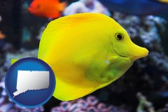 connecticut yello tang saltwater aquarium fish