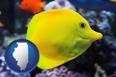 illinois yello tang saltwater aquarium fish