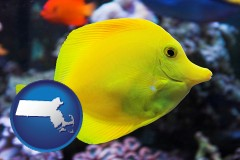massachusetts yello tang saltwater aquarium fish