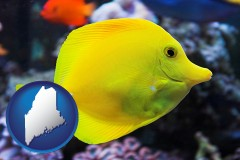 maine yello tang saltwater aquarium fish