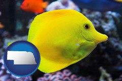 nebraska yello tang saltwater aquarium fish