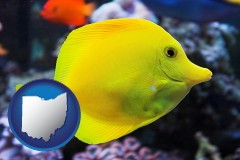 ohio yello tang saltwater aquarium fish