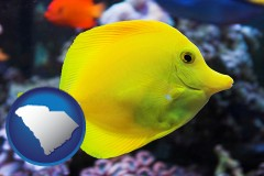 south-carolina yello tang saltwater aquarium fish
