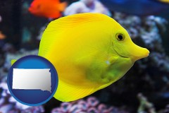 south-dakota yello tang saltwater aquarium fish