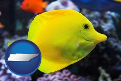 tennessee yello tang saltwater aquarium fish