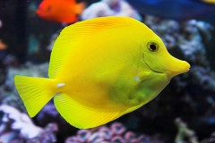 yello tang saltwater aquarium fish